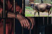 गाय के साथ बना रहा था अप्राकृतिक संबंध, सीसीटीवी में हुआ कैद। फिर यह हुआ मामला